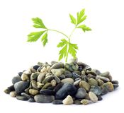 Parsley and stones on white background Royalty Free Stock Image