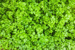 Parsley in sustainable garden. Parsley on bed in vegetable sustainable garden Royalty Free Stock Photo