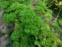 The Parsley. Today I continue with my photographing. Now we can see parsley and clay. When we look closely we can imagine the rest of the rainforest Stock Photos