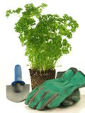 Parsley transplantation Royalty Free Stock Photography