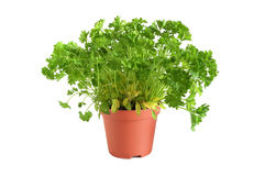 Parsley tree. Gardening parsley tree in small pot on white backgroundin Royalty Free Stock Images