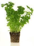 Parsley tree. Parsley with roots in soil on isolated background Stock Images