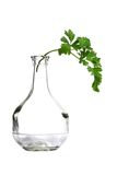 Parsley twig in bottleneck. Stock Photo