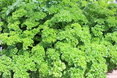 Parsley up close Stock Image