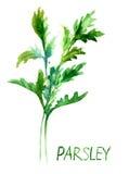Parsley vattenfärgillustration Royaltyfri Fotografi