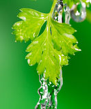 Parsley in water Royalty Free Stock Photo
