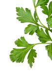 Parsley on a white Royalty Free Stock Photo