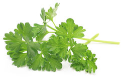 Parsley in a white background Stock Images