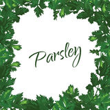Parsley on a white background. Vector green frame Royalty Free Stock Photo