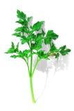 parsleypupa Royaltyfri Fotografi
