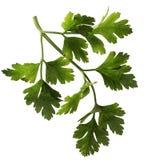 parsleysprig arkivbild
