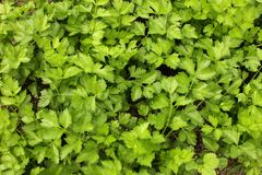 Parsly. Fresh parsley in market for cooking purpose Stock Photography