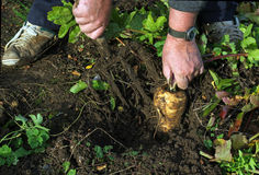 Parsnip being pulled from the ground. Royalty Free Stock Photo