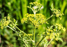 Parsnip flower in blossom Pastinaca sativa Royalty Free Stock Photography