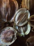 Parsnip Seeds Stock Photos