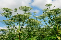 Parsnip Sosnowski (Heracleum sosnowskyi) in the Vilnius city. Royalty Free Stock Photos