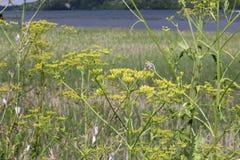 Parsnip, Wild (Pastinaca sativa) Stock Images