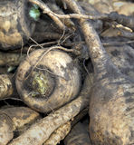 Parsnips. A close up of freshly pulled, unwashed parsnips at a farmers's market Royalty Free Stock Photography