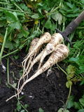 Parsnips. Fresh Parsnips in the garden Royalty Free Stock Photo