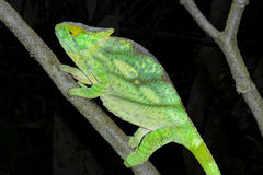 Parson's chameleon, marozevo Stock Images