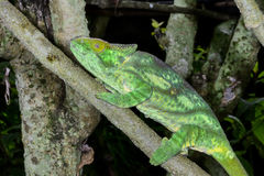 Parson's chameleon, marozevo Royalty Free Stock Images