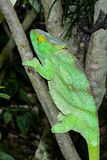 Parson's chameleon, marozevo Stock Photo