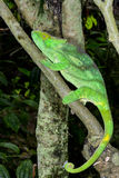 Parson's chameleon, marozevo Stock Photography