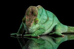 Parson Chameleon, Calumma Parsoni Orange Eye  on Black Royalty Free Stock Image