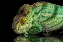 Parson Chameleon, Calumma Parsoni Orange Eye  on Black Stock Photos