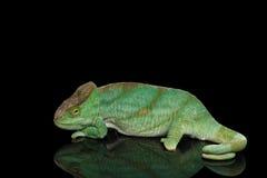 Parson Chameleon, Calumma Parsoni Orange Eye  on Black Royalty Free Stock Images