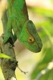 Parson chameleon Stock Image