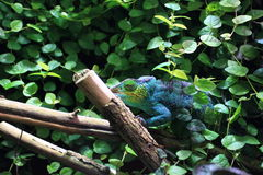 Parson chameleon Stock Photo