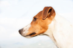 Parson Jack Russell dog,very nice dog, animal wallpaper. Royalty Free Stock Images