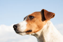 Parson Jack Russell dog,very nice dog, animal wallpaper. Stock Photos