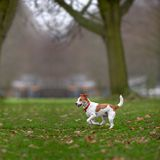 Parson Jack Russell enjoying run in park Royalty Free Stock Photo
