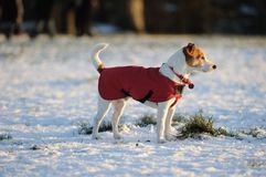 Parson Jack Russell in red winter coat stock photography