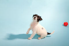Parson Jack Russell Terrier Stock Images