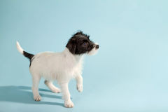 Parson Jack Russell Terrier Royalty Free Stock Photos