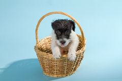 Parson Jack Russell Terrier Royalty Free Stock Images
