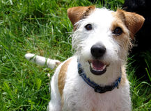 Parson jack russell terrier. Cheeky terrier on a meadow Stock Photo