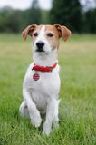 Parson Jack Russell Terrier lifting his paw Stock Images