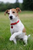 Parson Jack Russell Terrier offering his paw royalty free stock photos