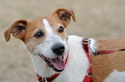 Parson Jack Russell Terrier panting Stock Image