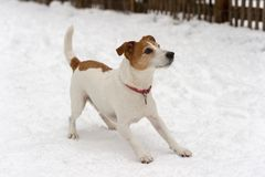Parson Jack Russell Terrier ready to play Stock Photos