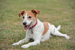 Parson Jack Russell Terrier resting on the grass. Parson Jack Russell Terrier lying down on the grass, resting stock image