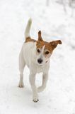 Parson Jack Russell Terrier running in snow Stock Image