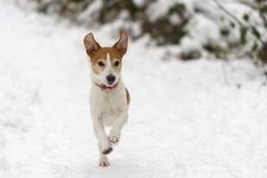 Parson Jack Russell Terrier running in snow Royalty Free Stock Image