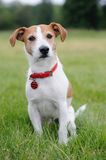 Parson Jack Russell Terrier sitting in a park Stock Photography