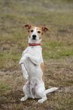 Parson Jack Russell terrier sitting up and begging Stock Photo
