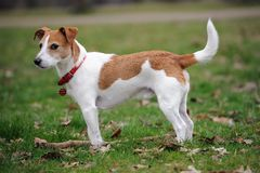 Parson Jack Russell Terrier standing in a park Royalty Free Stock Photography